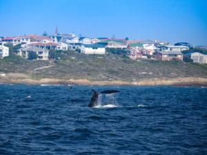 sudafrica - balene