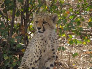 sudafrica - ghepardo