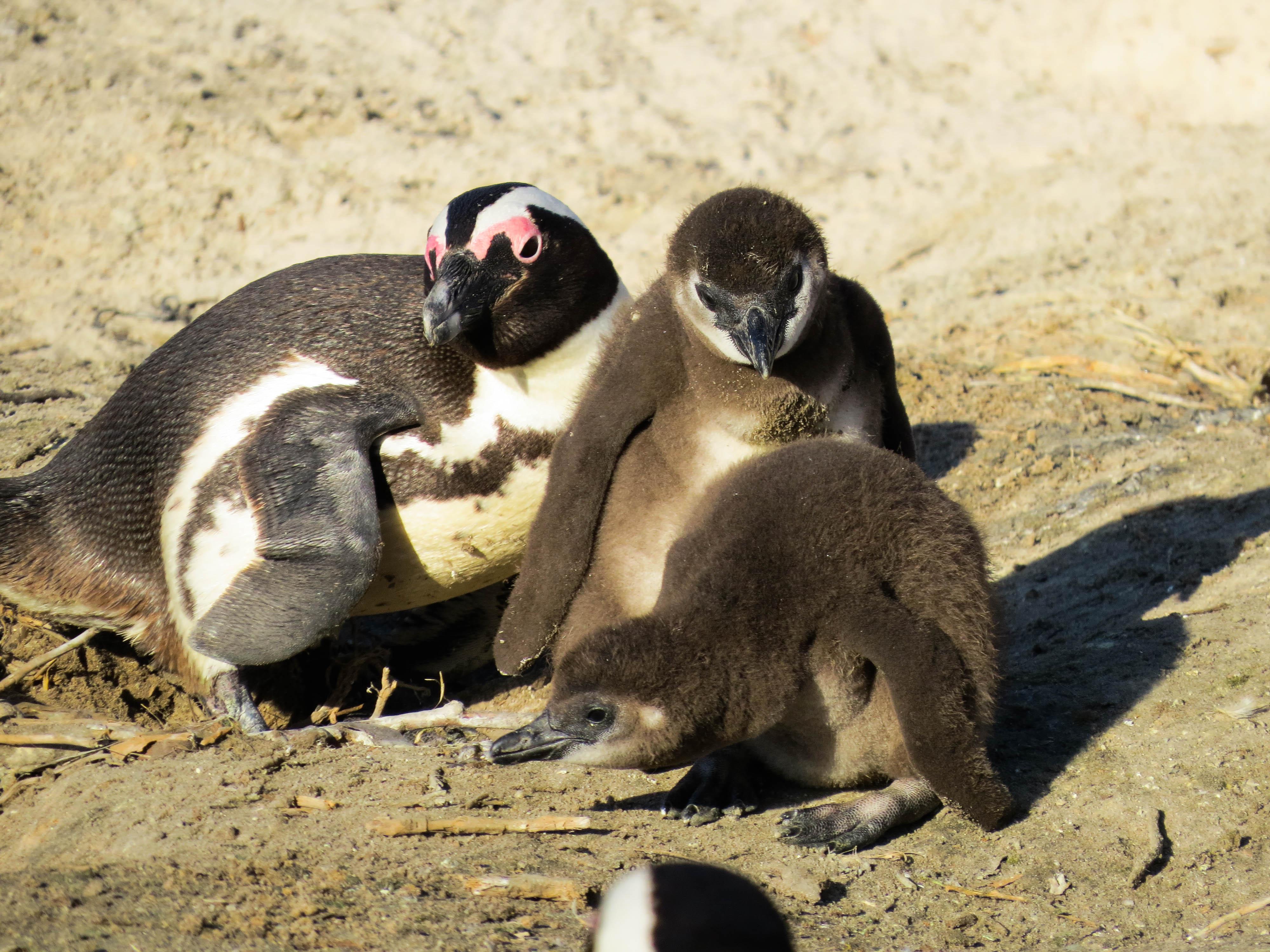 sudafrica - boulders beach - pinguini