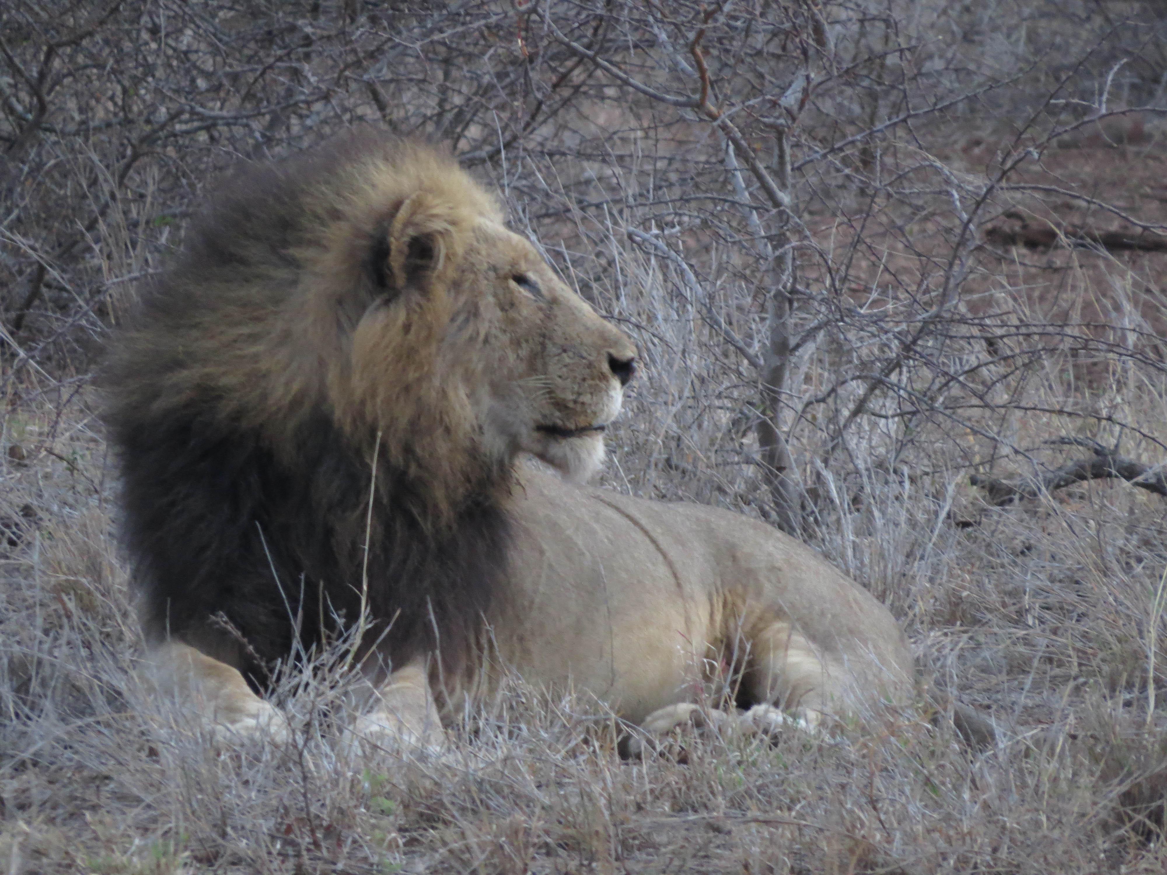 sudafrica - kruger - leone