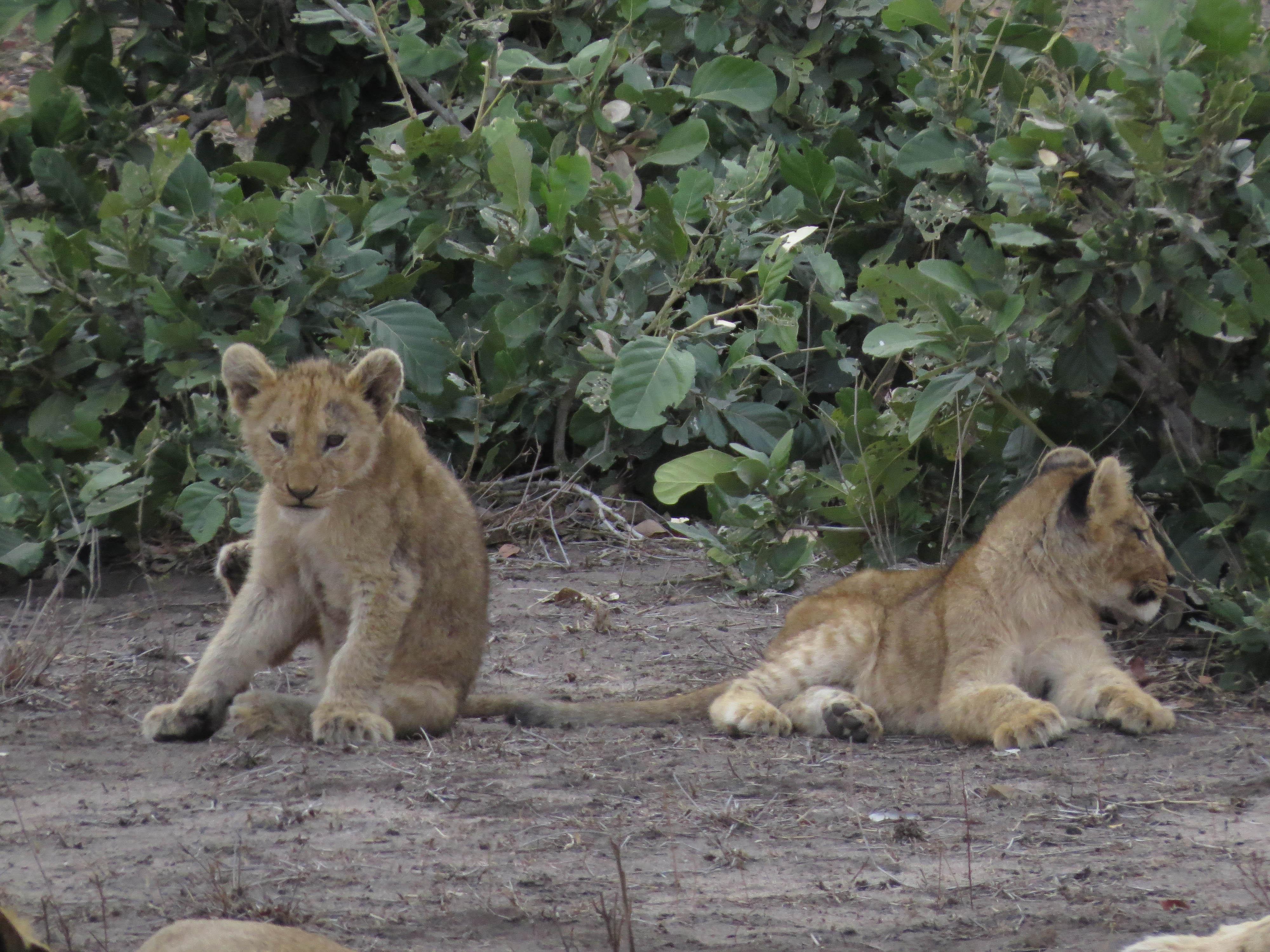 sudafrica - kruger - cuccioli di leone